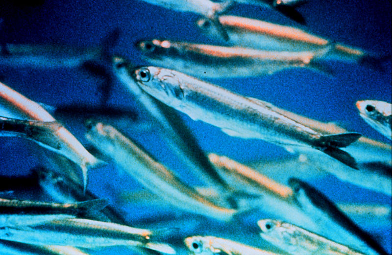 800px-Anchovy_closeup